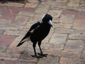 Magpies 1