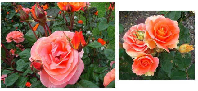 Rose Garden a