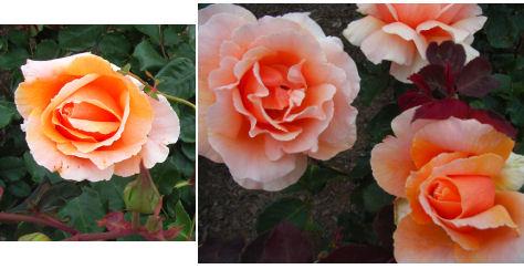 Rose Garden b