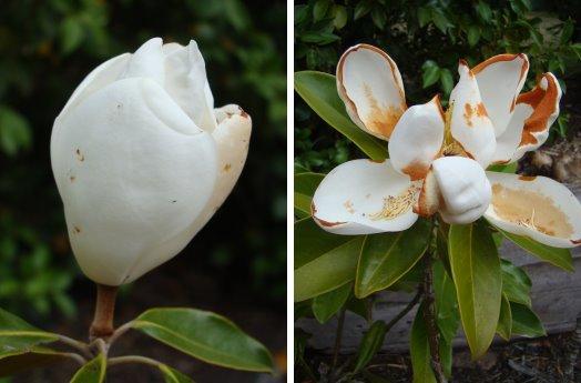 Magnolia 7-1-15