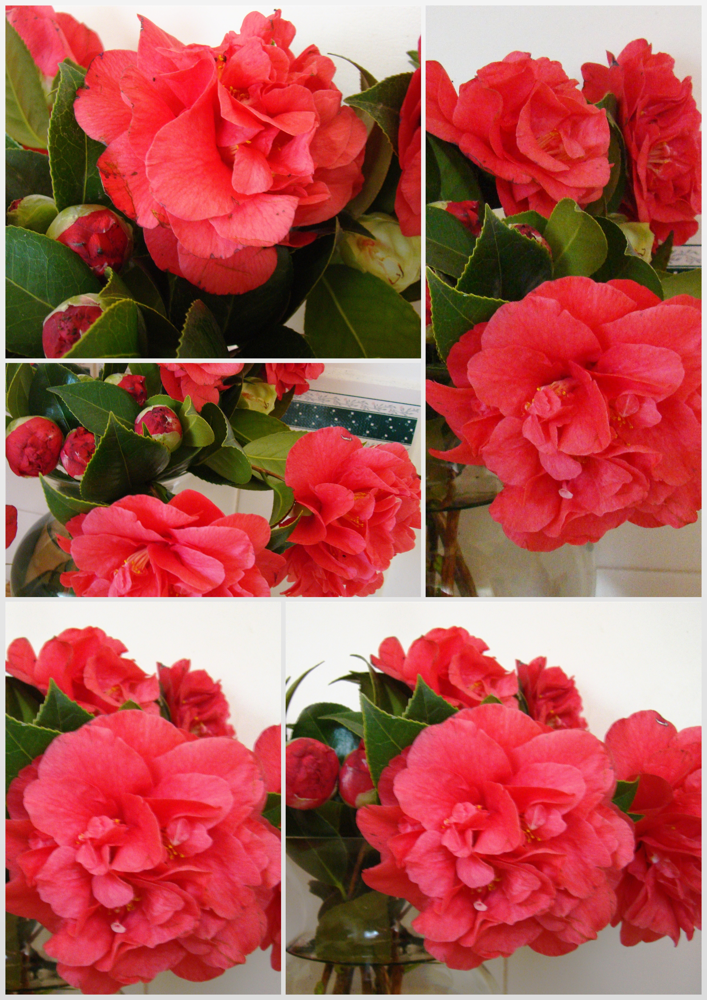 Bev's Camellias i